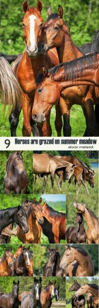Horses are grazed on summer meadow